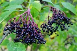 elderberry and viruses